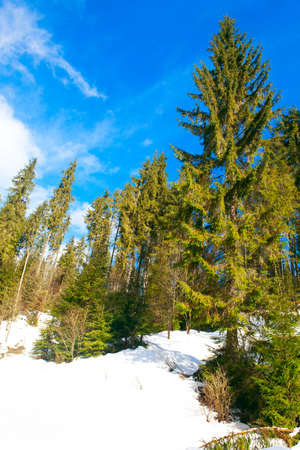 Fir trees in the winter . Tall pines growing on the snowy hill