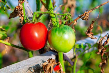 Red and green tomato in the garden