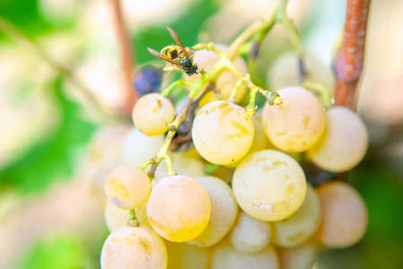 Wasp on grapes . Flying insect on a sweet fruit