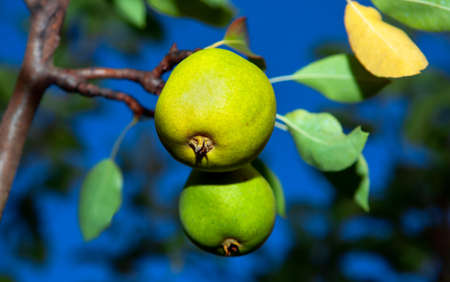 Pears on a branch . Sweet fruits on a tree