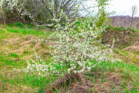 Wild cherry blossom tree in springtime Stockfoto