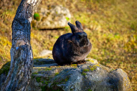 Black rabbit standing on the stone . Hare in the wild nature