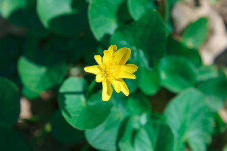 Eranthis flowering plant . Yellow spring flower