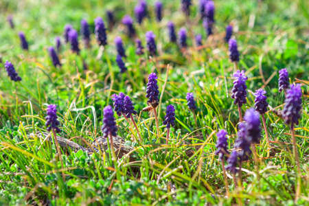 Meadow with Muscari Flowers . Grape hyacinths small spring blooming bulbs