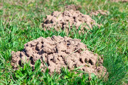 Ground mounds made by gopher . Pile of ground on the grass Imagens