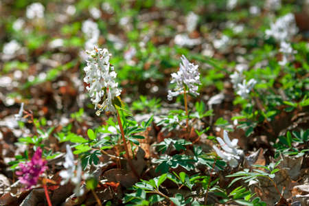 White Corydalis Cava on the growing on the meadow