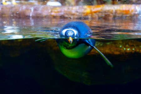 View diving penguin in large aquarium Imagens
