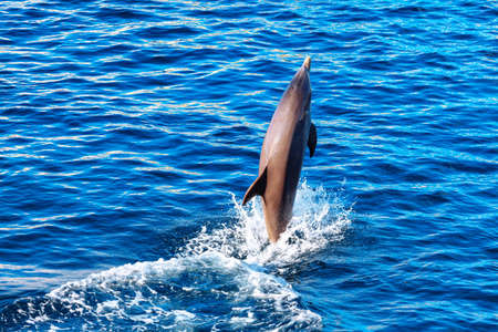Dolphin is standing out of the water . Jumping fish over the water with splashings