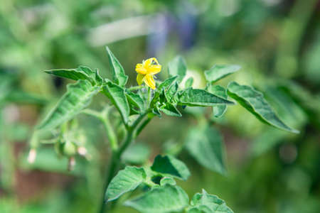 Tomato plant at flowering stage . Yellow tomato flower Imagens