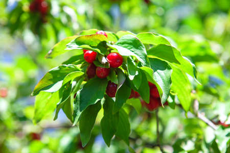 Red dogwood berry on the branches . Uncultivated red berries