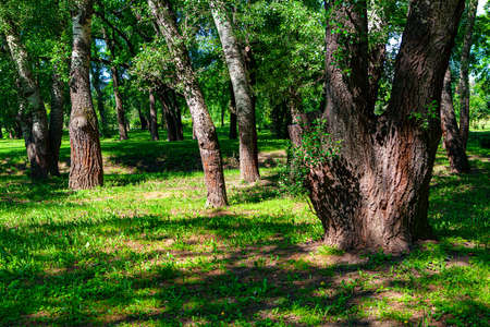 Poplar trees and green meadow in the park . Poplar grove Imagens