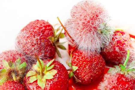 Botrytis gray mold fungus sporulation on berries . Spoiled strawberry harvest