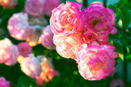 Rose Garden with pink fresh flowers