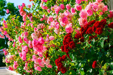 Garden with Roses is Smelling  Amazing Stok Fotoğraf