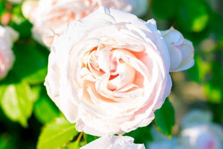 Beige Sahara Rose growing in the garden Stok Fotoğraf