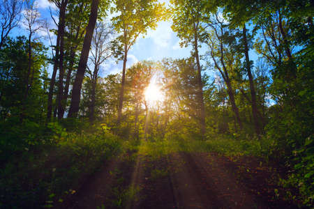 Sunbeam in the spring forest  . Rays in the branches . Fairytale woodland