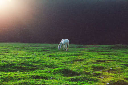 White horse at mysterious pasture . Gracious mare at green meadow