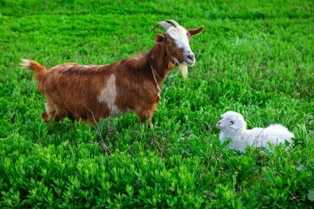 Goat with baby . Domestic animals mother and child . Livestock at the meadow