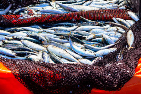 Fish catch in the fishing net . Fresh catch Atlantic Sardina Stok Fotoğraf