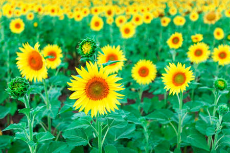 Sunflower Field In Summer . Yellow agricultural cultivated flowers