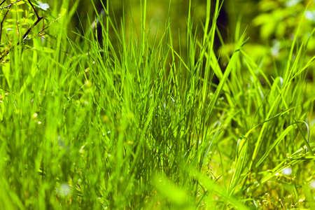 Forest grass background . Green vegetation in the summer