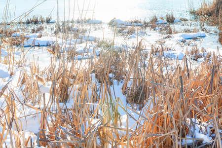 Dry sedge in snow . Lake shore in the winter