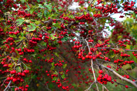 Hawthorn tree with red berries in autumn Stok Fotoğraf