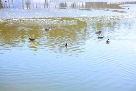Wild ducks swimming on the winter lake Stok Fotoğraf