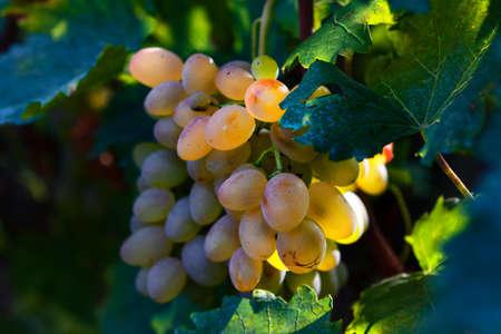 Grape growing in soft light . Sweet grape for winemaking Stok Fotoğraf
