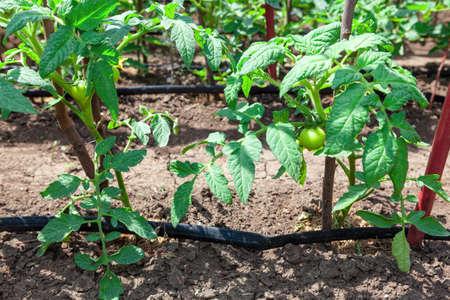 Growing a tomato , vegetable garden . Homegrown tomato