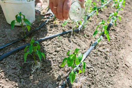 Farmer watering seedlings from a jar . Manual irrigation of the garden