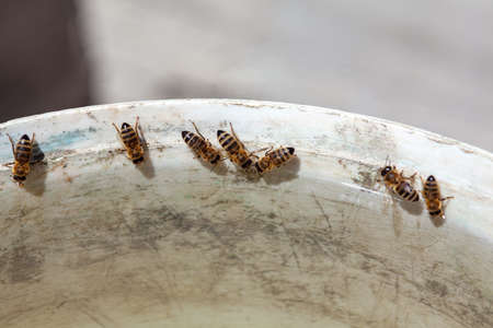 Honey bees drinking water . Bees Collect Water in the Summer Stok Fotoğraf