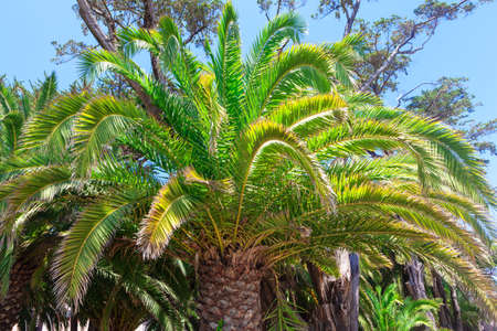 Coastal palm tree in the sunny day . Tropical nature background . Palm with large branches