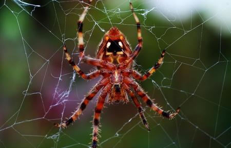 tuin spider
