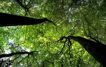 canopy: A Beech woodland tree canopy seen from below