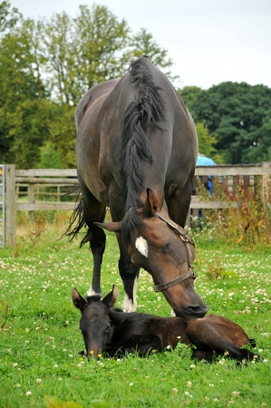 paddock: A horse and one day old foal in paddock