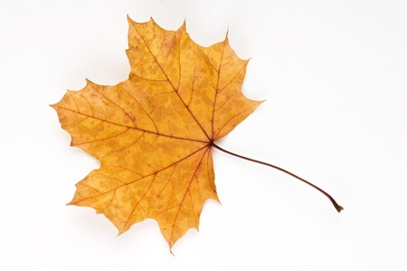 Autumnal London Plane tree leaf photo