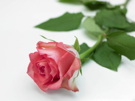 selectivity: A selectivity focused Pink Rose on a White background