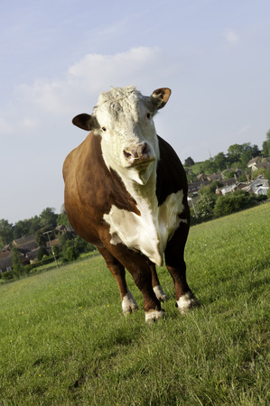 hereford: A pedigree Hereford Bull in grass pasture field looking at camera Stock Photo