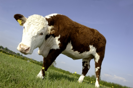 hereford: a single female pedigree Hereford Cow in buttercup field