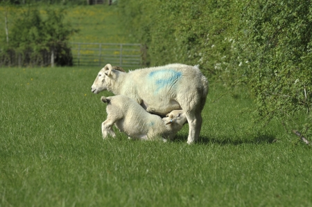 suckling: A female Wiltshire Longhorn sheep and lamb suckling