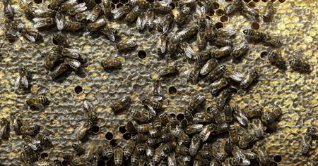 miel et abeilles: Beaucoup abeilles europ�enne avec peigne