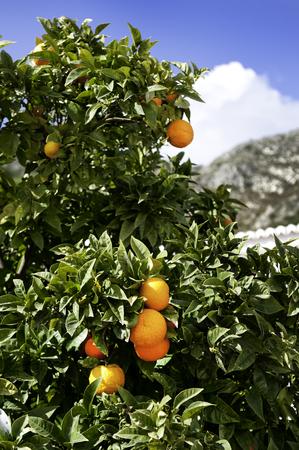 naranja arbol: Un naranjo con naranjas con monta�a detr�s Foto de archivo
