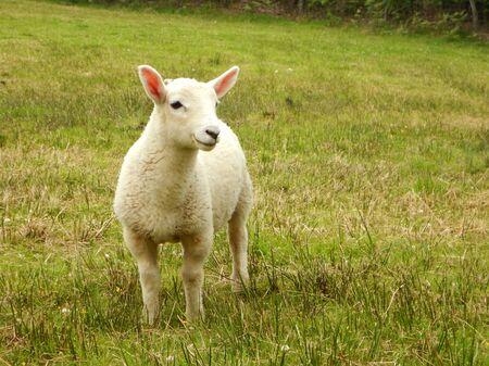 Single lamb in field