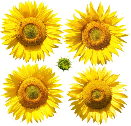 Flowers of sunflower, isolated on white photo