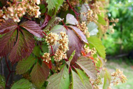 Flowers climbing plant  parthenocissus