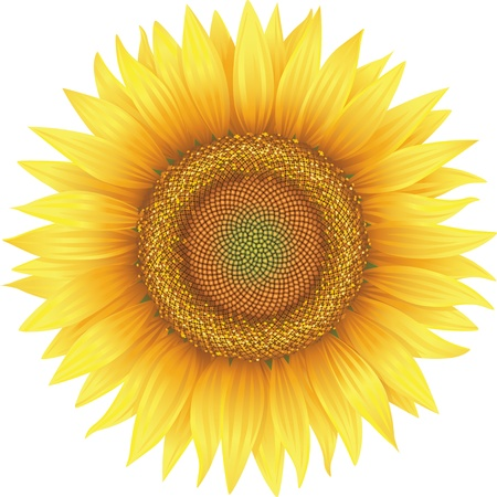 Flower of sunflower, isolated on white, vector Illustration
