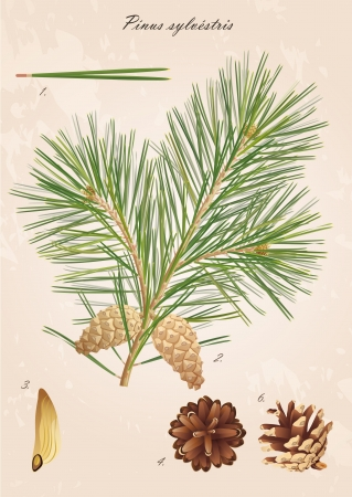 Pinus sylvestris  Pine branch with cones, needles and seeds