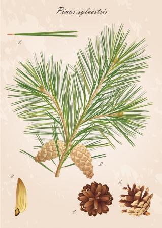 Pinus sylvestris Pine tak met kegels, naalden en zaden