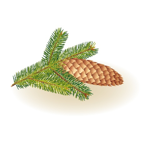 spiny: Spruce branches with cones on a white background